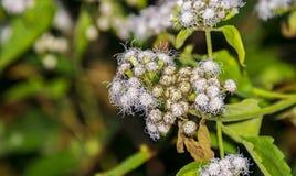 Glasschlacken-Blumen oder weißer Ageratum Houstonianum oder Pussy-Fuß oder ich Stockfotos