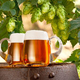 Glasses of beer in the hop field Royalty Free Stock Image