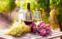 Glasses of red and white wine and ripe grapes on table in vineyard. At sun day royalty free stock photo