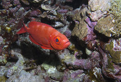 Glasseye fish. Glasseye Priacanthidae Bigeye fish, red sea Royalty Free Stock Image