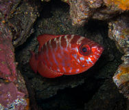 Glasseye fisk - kanariefågelöar Arkivbild