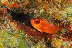 Glasseye Snapper Hiding in a Coral Reef - Roatan, Honduras Royalty Free Stock Photos