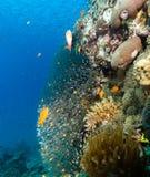 Glassfish and anthias around a pinnacle. Glassfish and anthias swim around a coral pinnacle stock photography