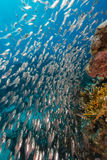 Glassfish and the aquatic life in the Red Sea. Royalty Free Stock Photography