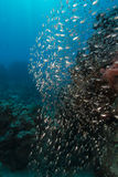 Glassfish and the aquatic life in the Red Sea. Stock Photo