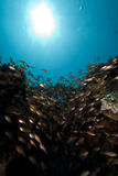 Glassfish and coral Stock Images