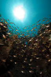 Glassfish and coral Royalty Free Stock Images