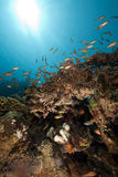 Glassfish and coral Stock Image