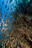 Glassfish, coral and ocean. Royalty Free Stock Image