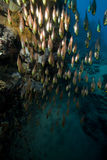 Glassfish, coral and ocean. Royalty Free Stock Photo