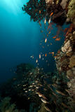 Glassfish and coral in the Red Sea. Stock Photos