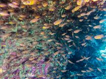 Glassfish in coral reef Andaman sea, Boulder Island, Myanmar.n royalty free stock photography