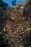 Glassfish and coral taken in the Red Sea. Royalty Free Stock Photos