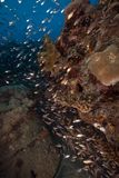 Glassfish and coral taken in the Red Sea. Stock Image