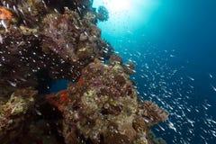 Glassfish in de tropische wateren van het Rode Overzees royalty-vrije stock afbeelding