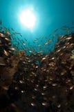 Glassfish et corail Images libres de droits