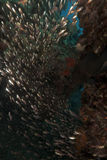 Glassfish and ocean in the Red Sea. Royalty Free Stock Photography
