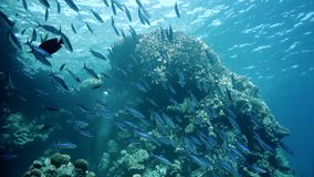 Glassfish Parapriacanthus ransonneti学校在SS里面Carnatic,红海的击毁的 股票录像