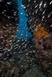 Glassfish in the Red Sea. Stock Photos