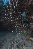 Glassfish in the tropical waters of the Red Sea. Stock Photography