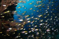 Glassfish school. A school of glassfish is swimming in a cavern with a coral and blue water in a background, Maldives Royalty Free Stock Photo