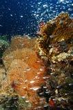 Glassfish-Schwimmen vor dem gorgonia stockfotos