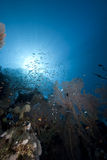 Glassfish, seafan and ocean. Taken in the Red Sea Royalty Free Stock Photography