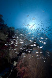 Glassfish, seafan and ocean Stock Image