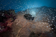 Glassfish, seafan and ocean Stock Photography