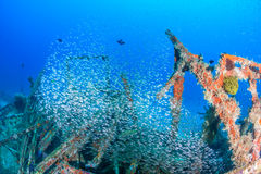 Glassfish on a shipwreck Royalty Free Stock Image
