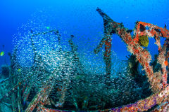 Glassfish on a shipwreck Stock Photography