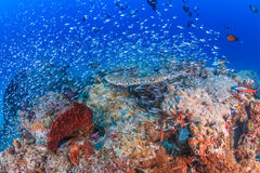 Glassfish swarm around a coral pinnacle. Glassfish and other tropical fish swarm around a coral pinnacle on a tropical reef Stock Photo