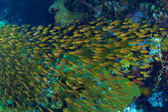 Glassfishes Royalty Free Stock Photography