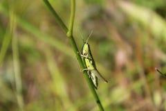 Glasshopper Στοκ εικόνα με δικαίωμα ελεύθερης χρήσης