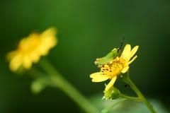 Glasshopper verde en la flor amarilla en el jardín Fotografía de archivo libre de regalías