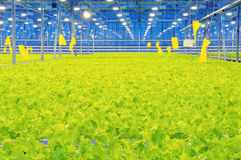 Glasshouse bunching lettuce Stock Photo