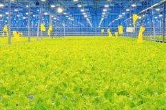Free Glasshouse Bunching Lettuce Stock Photo - 14281270