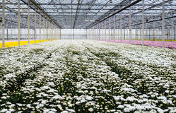Glasshouse of a cut flower nursery with blooming chrysanthemums Royalty Free Stock Image
