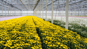 Glasshouse of a cut flower nursery with yellow blooming chrysant Stock Photography