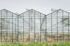 Glasshouse with dehydrated crop from hot summer. royalty free stock photo