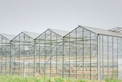 Glasshouse with dehydrated crop from too dry summer. royalty free stock image