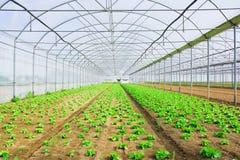glasshouse greenery narastająca sałata Zdjęcia Royalty Free