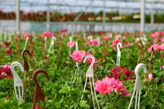 Glasshouse with pelargoniums Royalty Free Stock Images