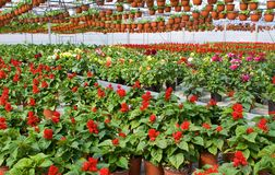 Glasshouse with red flowers Stock Photos
