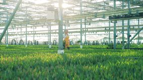 Glasshouse worker walks near flower beds with tulips. stock video