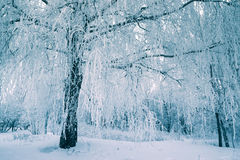 Glassi l'albero nella foresta dell'inverno sulla mattina di neve fresca Fotografia Stock