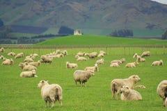 glassland owce Zdjęcia Stock