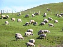 glassland owce Obrazy Stock