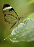 Glasswing蝴蝶 库存图片