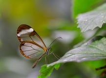 Glasswing蝴蝶 库存照片
